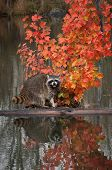 Raccoon (Procyon lotor) Cries Out from Log in Pond poster
