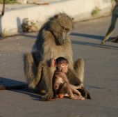 A chacma baboon (Papio ursinus) with her infant son in the road photographed in South Africa. poster
