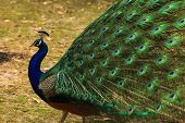 Peacock with Full Plumage Open and Colorful poster