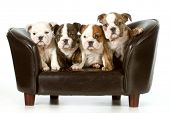 litter of puppies - english bulldog puppies sitting on a couch - 8 weeks old poster