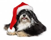 Beautiful happy lying Bichon Havanese dog in a Christmas - Santa hat and with white beard. Isolated on a white background poster