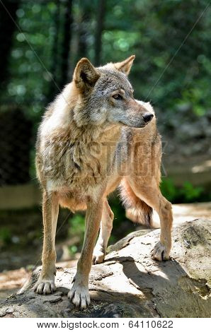 Gray wolf - Canis lupus standing on a log poster