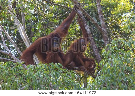 Mother and Baby Orangutans in tree in rain forest