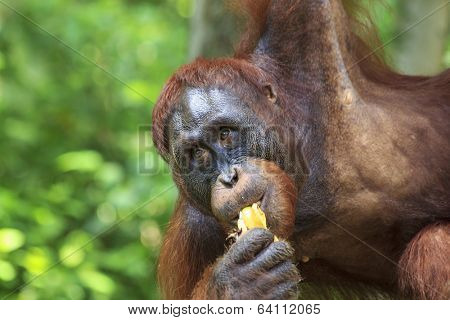 Orangutan eating bananas poster