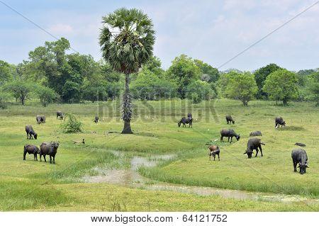 Water buffalo grazing in green meadow in northern Sri Lanka poster