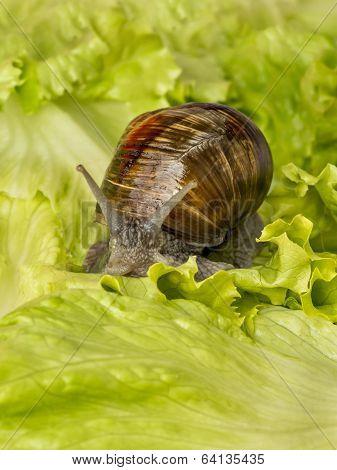 Brown Burgundy snail eating a lettuce leaf poster