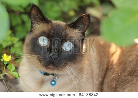 apple head Siamese cat in garden