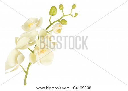 Close Up Of Beautiful Orchid Flower Isolated On White