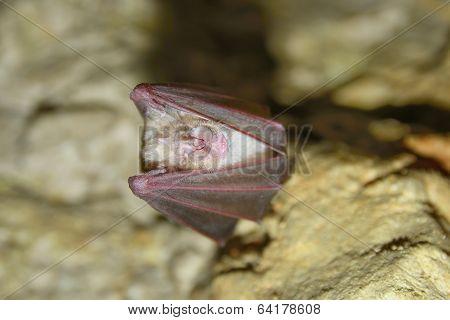 greater horseshoe bat rhnolophus ferrumequinum
