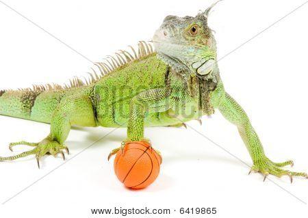 Iguana Holding A Basketball