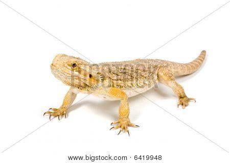 Orange Headed Bearded Dragon (pogona Vitticeps) Isolated On White
