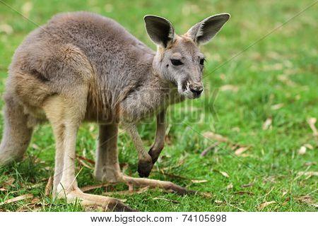 The red kangaroo baby (Macropus rufus)