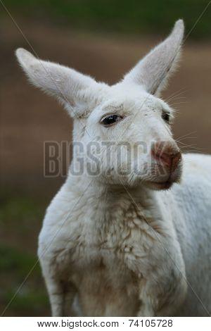 Albino Kangaroo Closeup