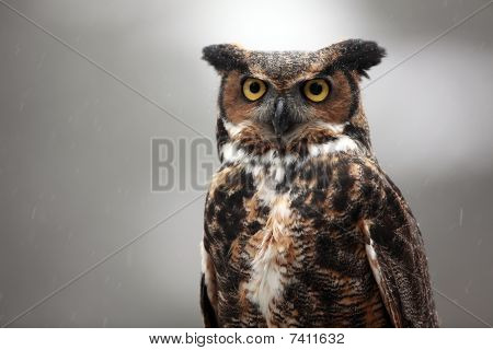Great Horned Owl In The Rain