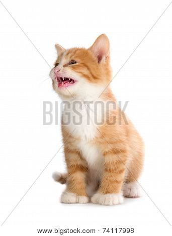 Cute Orange Kitten Meowing on White Background