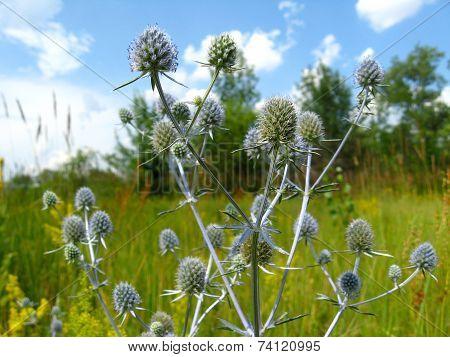 Blue Prickly Flowers Of Eryngium