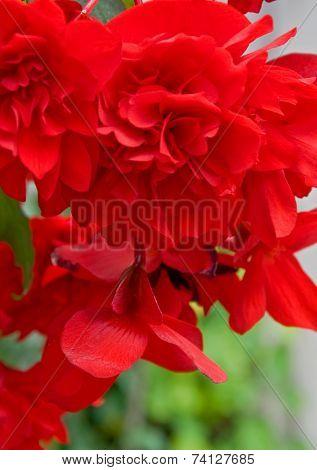 Brillant Red Hanging Begonia Flower