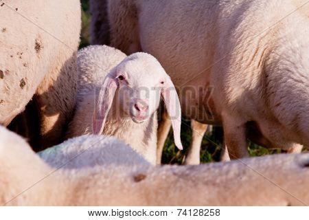 Hi People, I'm Jim The Lamb!