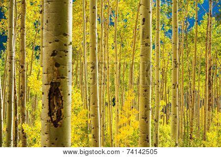Aspen Trees Forest