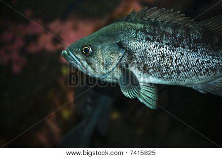 Rockcod fish