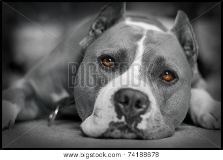 American Staffordshire Terrier Ares