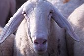 this is a close up of sheep snout poster