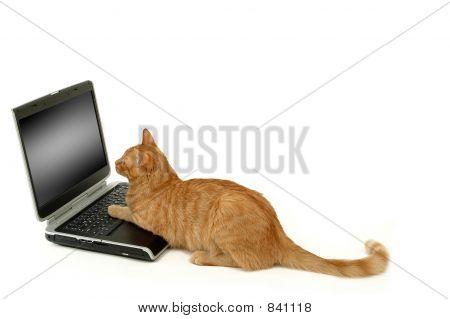Cat lokking at scrren