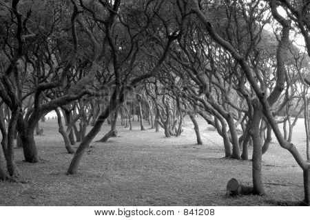 Scrub oaks in black & white.