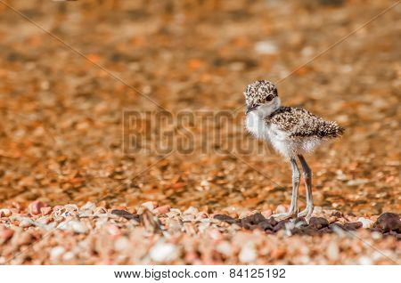 Lapwing Chick On Pebble Beach