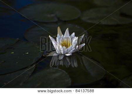 White Water Lily Reflected In Dark Water