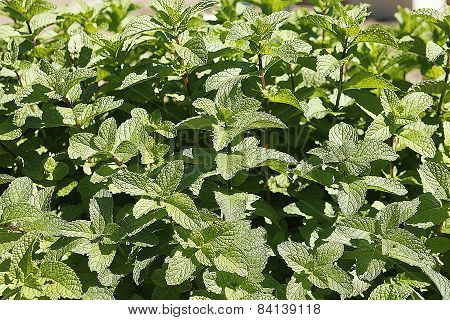 Mint Plant