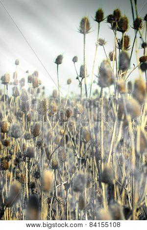 Feld of thistle - thistle field