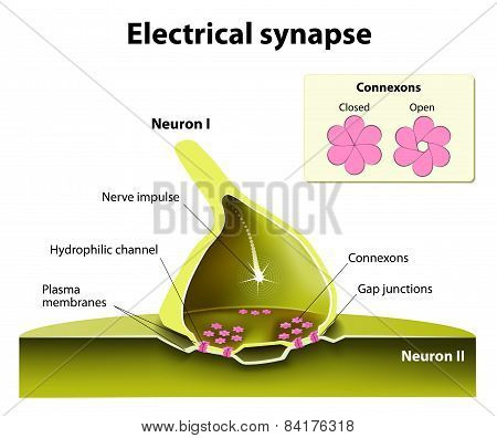 Trafficking of channels at electrical synapses. Electrical synapses work with practically no time delay. suspected of contributing to the spread of seizure discharges in epilepsy. poster