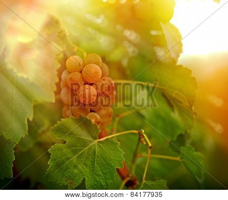 Grape Riesling - Sunset in the Vineyard