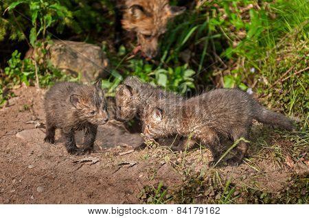 Three Red Fox Kits (vulpes Vulpes) Meet