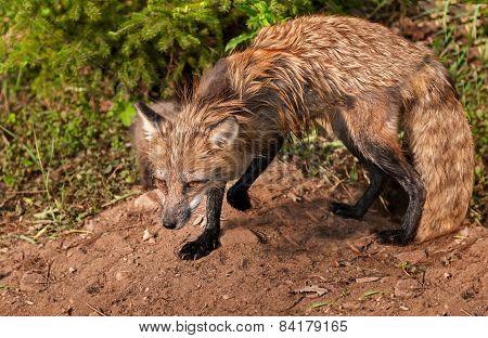 Red Fox Vixen (vulpes Vulpes) Stands Alert At Den
