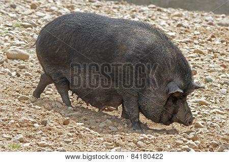 Black Pot-bellied pigs herbivorous