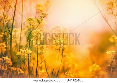 Soft focus on yellow meadow flowers