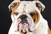 male english bulldog head shot on black background poster