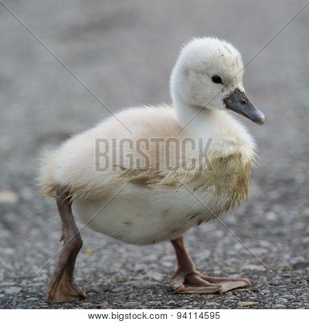 A muddy Mute Swan (Cygnus olor) cygnet walking on a path