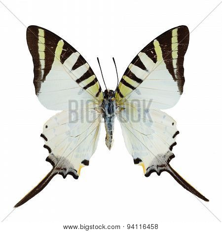 Five Bar Swordtail Butterfly