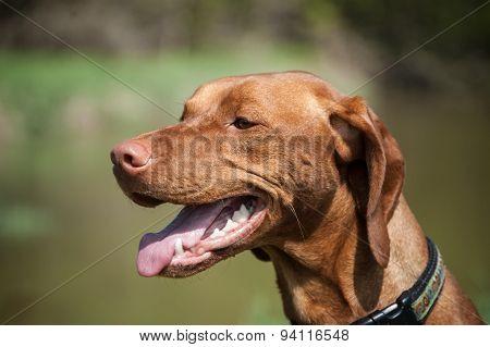 A close-up portratit of a happy looking Hungarian Vizsla dog.