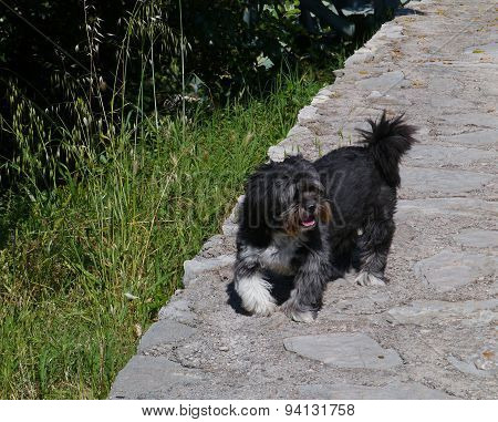A black terrier dog