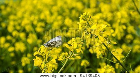 Green-veined White Butterfly Collects Nectar On Rape