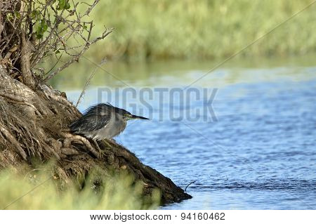 Striated Heron In Pottuvil, Sri Lanka