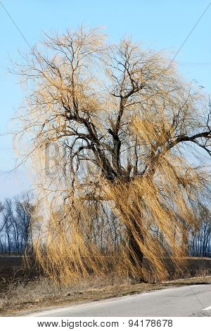 Authentic Landscape Willow On The Roadside, Long Branches With A Strong Gust Of Wind Against The Sky
