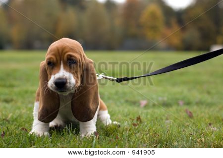 Unhappy Basset Hound Sitting In The Grass