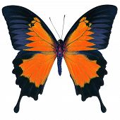 Beutiful orange butterfly Blue Emperor Mountain Blue (Papilio ulysses) in fancy color profile isolated on white background poster
