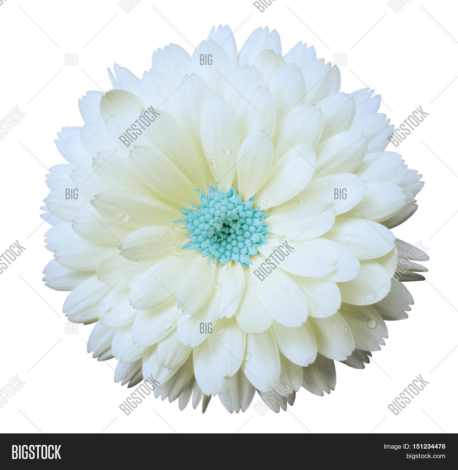White flower calendula image photo free trial bigstock white flower calendula white isolated background with clipping path nature closeup no shadows mightylinksfo