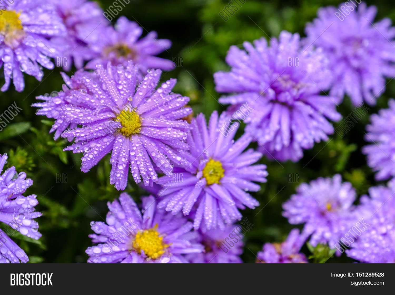 Beautiful Pink Purple Image Photo Free Trial Bigstock